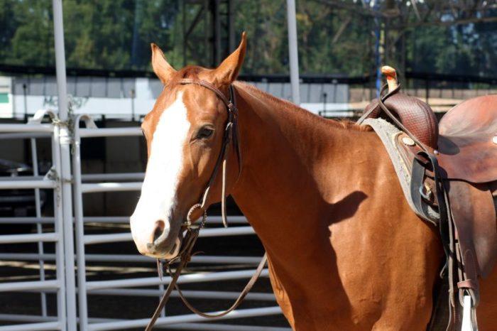 Are American Quarter Horses Good for Beginners?