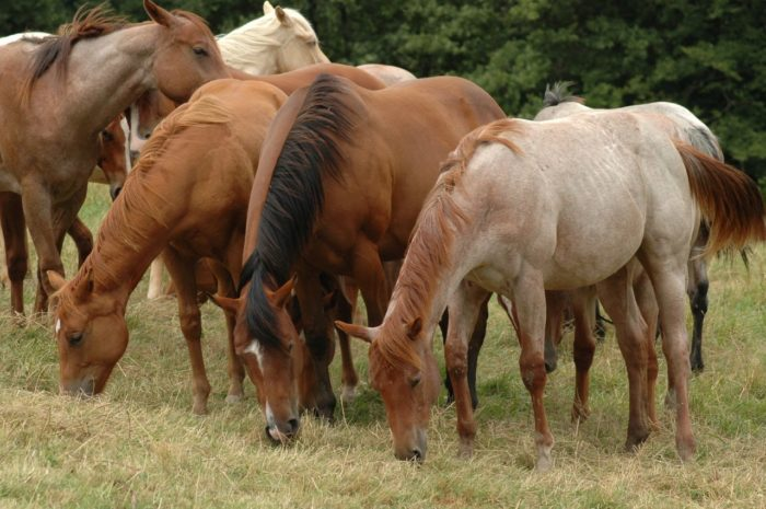 American Quarter Horse Diet: What do They Eat?
