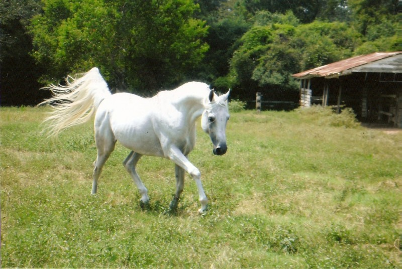Why do Arabian Horses Hold Their Tail Up?