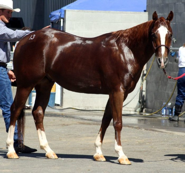 American Quarter Horse Height
