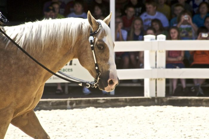 American Quarter Horse Lifespan: How Long Do They Live?