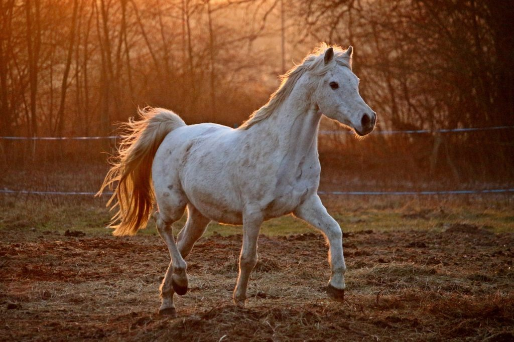Do Arabian Horses Have One Less Rib And Vertebrae Horsy Planet