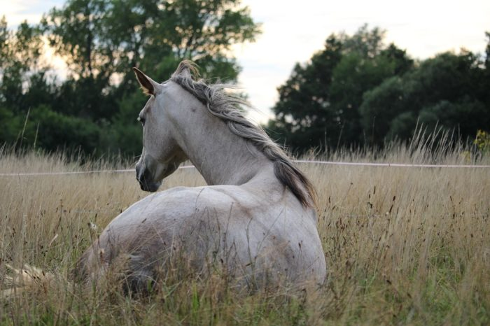 [REVEALED] The Truth Behind the Arabian Horse Lifespan!