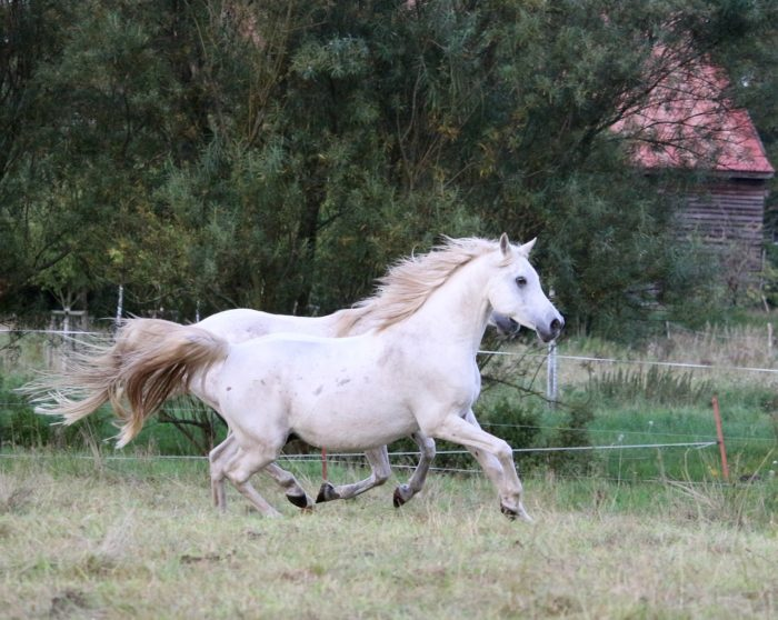 Are Arabian Horses Fast? The Speed of an Arabian Horse
