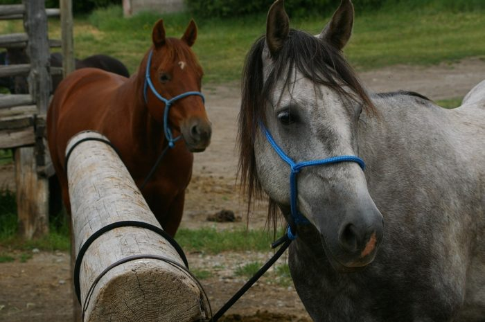 How to Take Care of an American Quarter Horse?