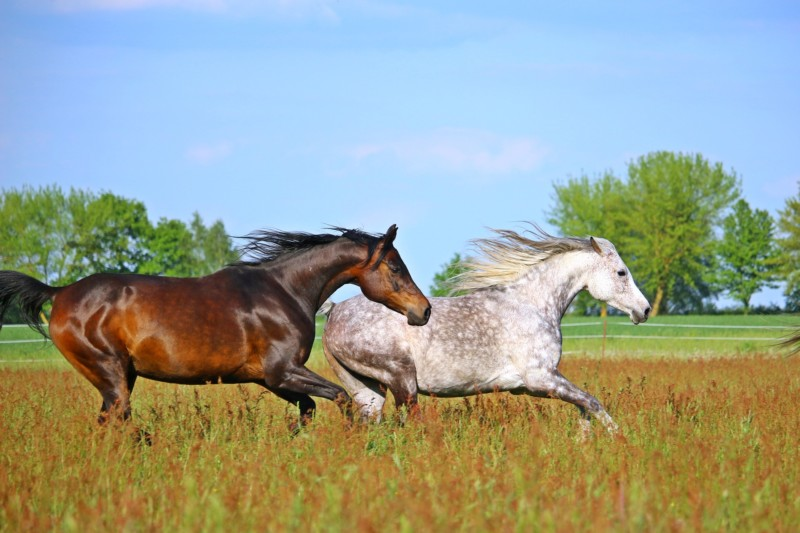 The Temperament and Personality of an Arabian Horse